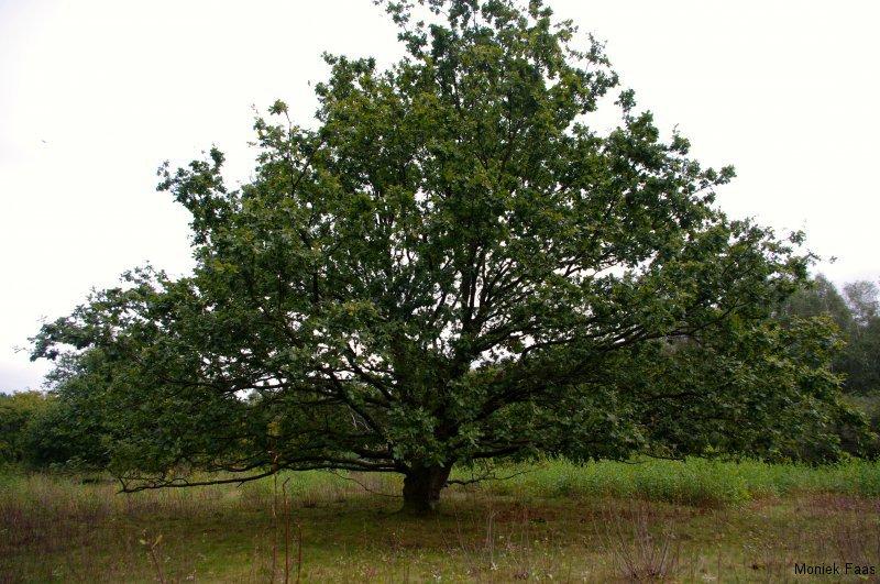 Op een heideveld staat een boom
